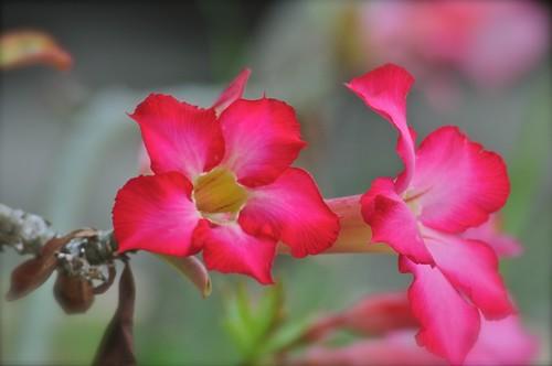 flowers johor muar westmalaysia flowersarebeautiful mimamorflowers flickrflorescloseupmacros