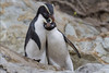 Fiordland Crested Penguins by NZ Nature by Glenda Rees