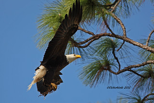 Bald Eagle | by Cleber C. Ferreira