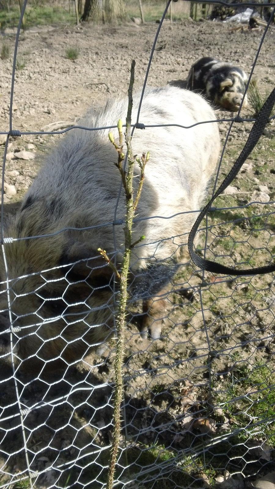 Greedy pig! Along the Eden Valley Way
