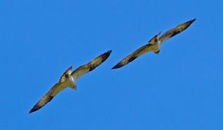 Glaslyn Osprey Pair