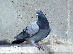 Rock Pigeon, Windmere Basin, ON