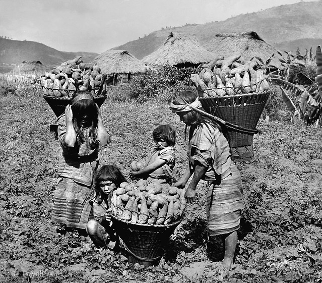 Igorote girls gathering sweet potatoes near Baguio, Luzon Island, Philippines, early 20th Century