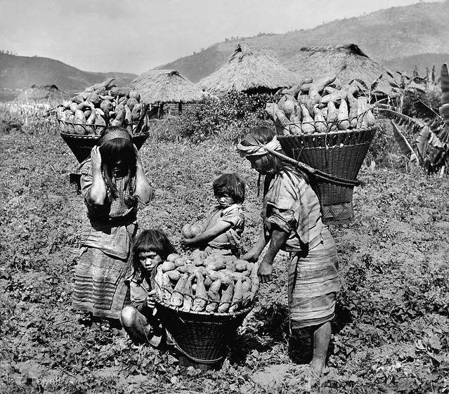 Igorote girls gathering sweet potatoes near Baguio, Luzon Island, Philippines, early 20th Century