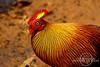 Sri Lankan Junglefowl - Male by ekuneM©