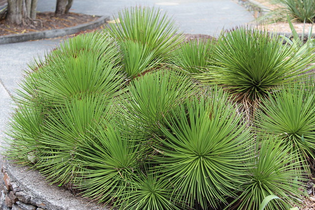 Agave stricta, the hedgehog agave