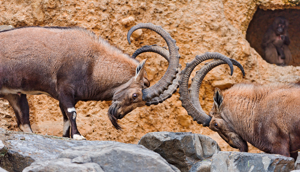 Face-off ibexes