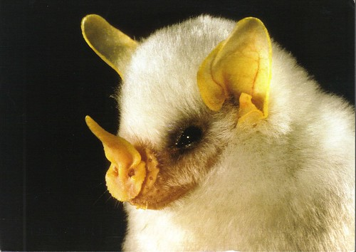 Honduran White Bat