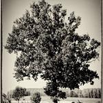 La vecchia quercia