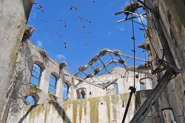 Cigüeñas en la Azucarera de Cortes