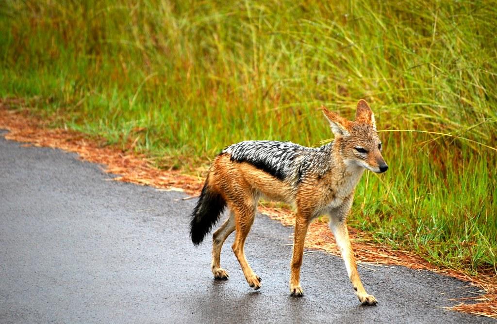 Chacal de la réserve de Pilanesberg | Romain Cloff | Flickr