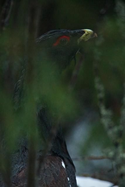 Western Capercaillie - Tetrao urogallus