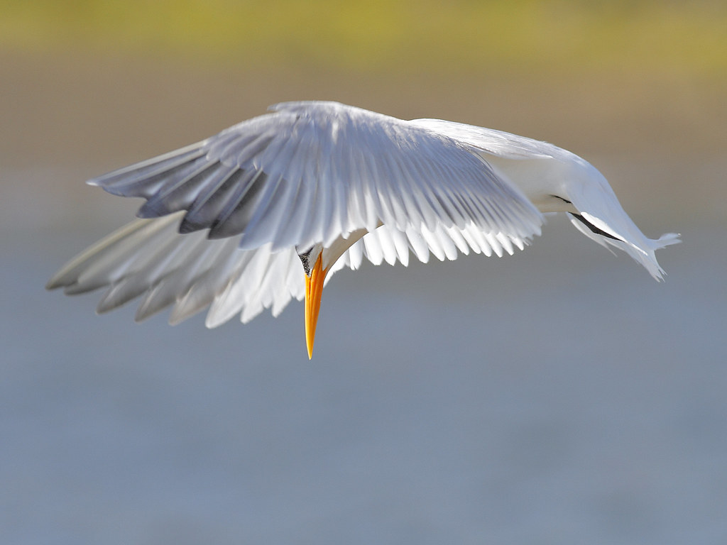 Elegant Tern Hovering [Explored best position #27]