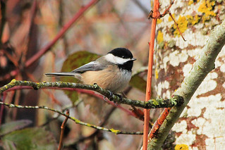 Black-Capped Chickadee in the TRNWR