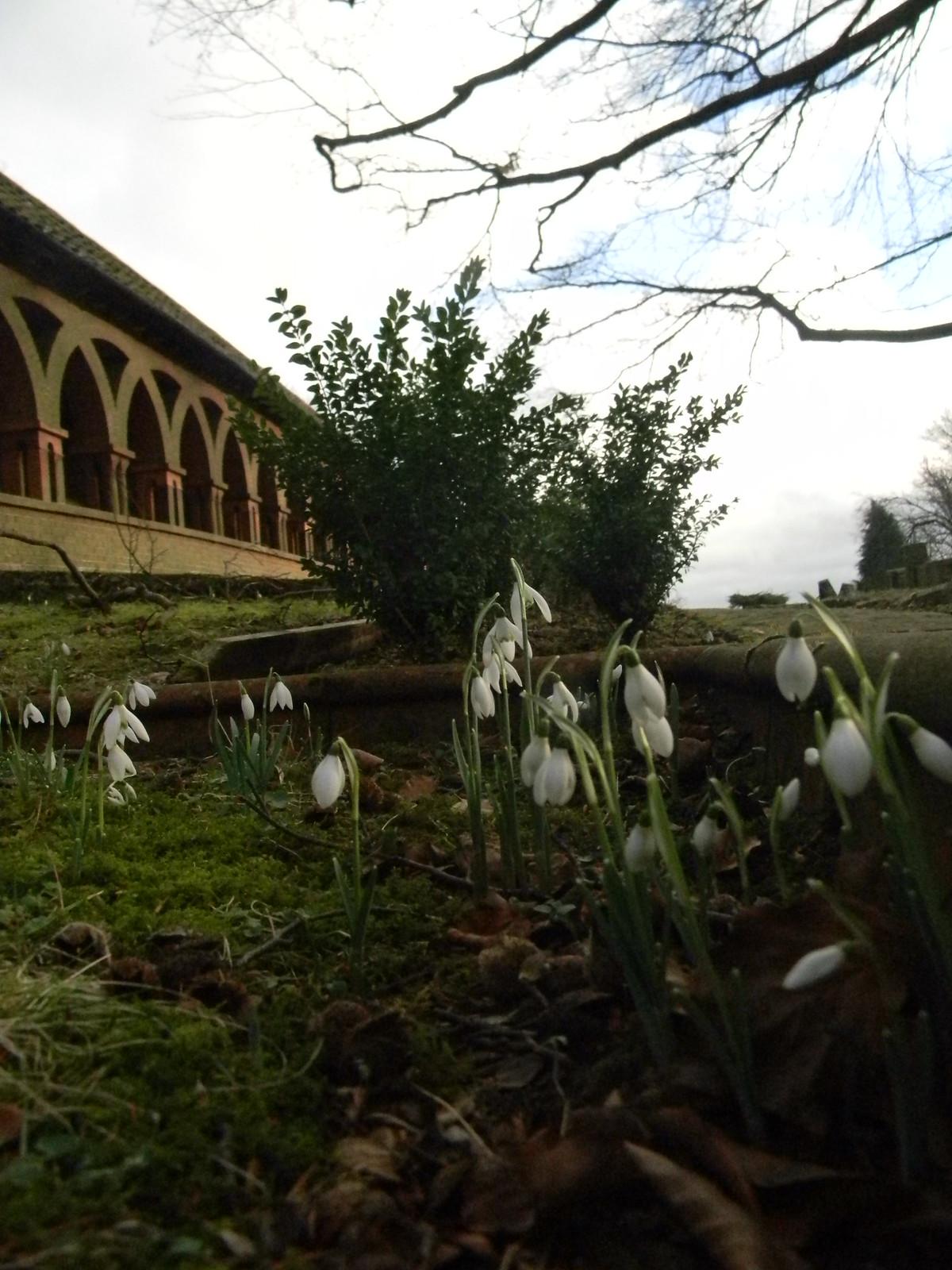 Snowdrops - Watts chapel Wanborough to Godalming