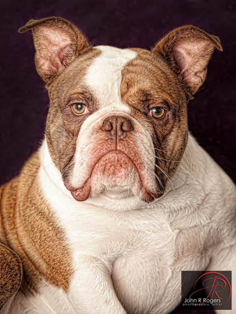 Sir Jack; Old English Bulldog
