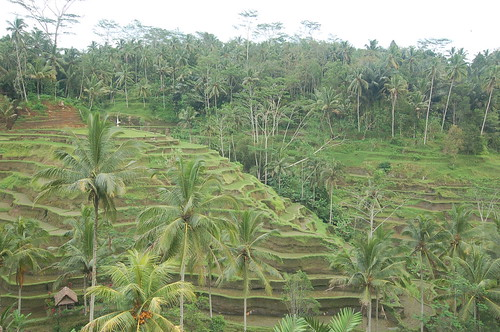 Tegallalang Rice Terraces, Ubud, Bali, Indonesia 印尼 峇里島 德哥拉朗梯田 | by synnwang