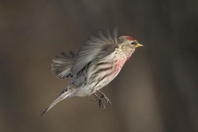 Male common redpoll in flight