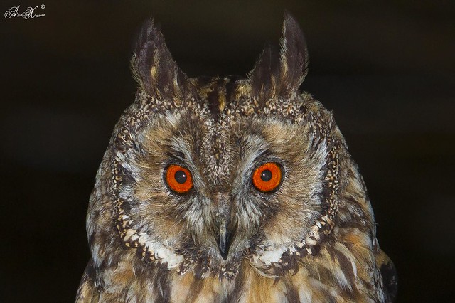 Bufo-pequeno, Long-eared Owl (Asio otus) - em Liberdade [in Wild]