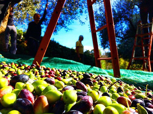 We picked olives all day today ! Feeling like a real Italian :) #upsticksandgo #italia #olives #formello #oliveharvest #michfrost #instaitalia #naturephoto #instagood #naturephoto #harvest | by UpSticksNGo