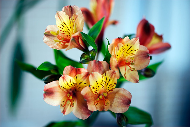 A bunch of Peruvian Lilies - Quinta Flower