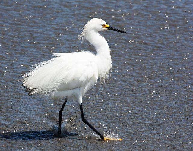 IMG_4846  Snowy Egret. in Peru