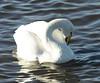 _MG_0161 Whooper Swan by sam.creighton