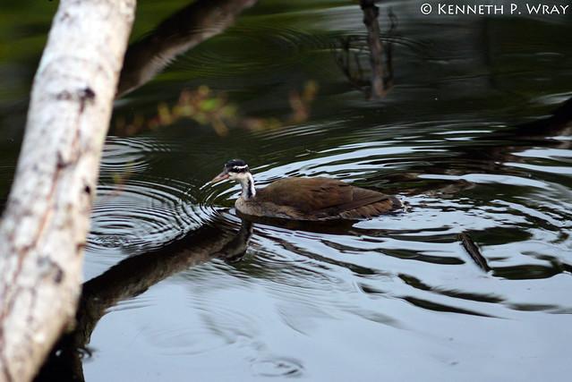 Heliornis fulica (Sungrebe or American Finfoot)