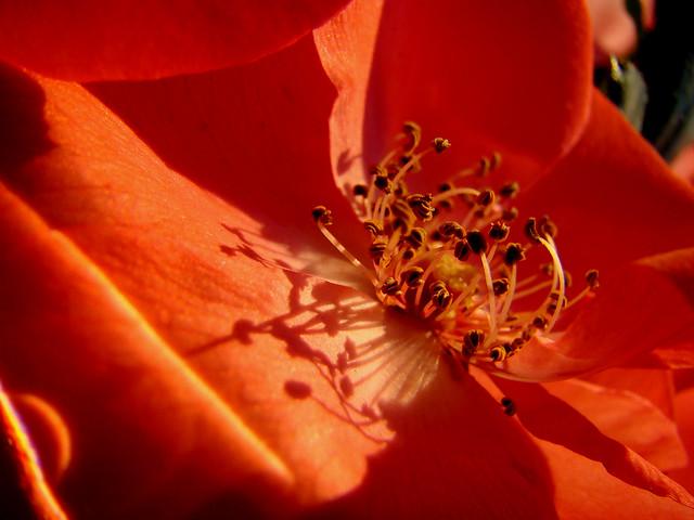 Pistils de ROSE orange au soleil couchant...