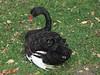Black swan IMG_4638 by fernandodelatorre46