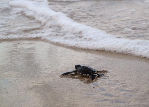 comores comoros mohéli mwali grandecomore nature environnement émergence juvénile tortue tortueverte cheloniamydas mer eau côte jeune sable plage simonfournier 5