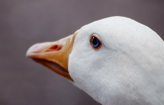 Duck | by Hello? Operator?