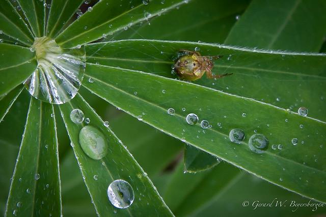 Rainy Day Spider