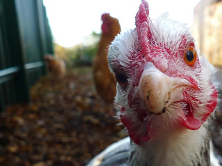 Angry chicken | by Stewart Black