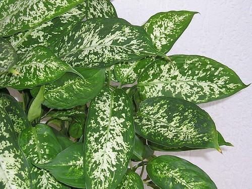 Dieffenbachie (Dieffenbachia compacta) | by blumenbiene