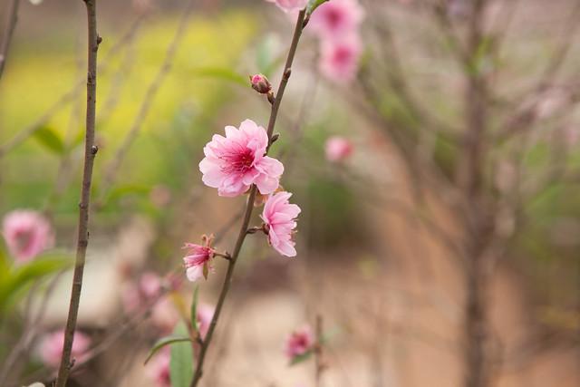vườn hoa Tết Quảng An
