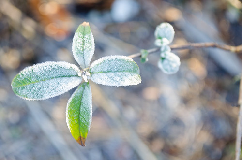 Frosted buddleia leaves