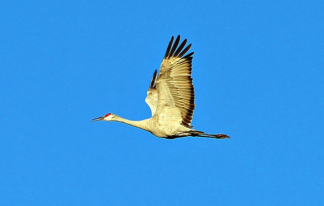 Sandhill Crane - Eagle Lake,Texas