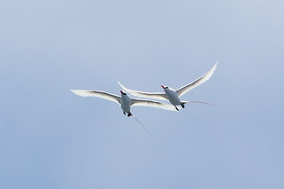 Red-tailed Tropicbirds | by Calidris!