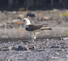 yellow-headed caracara by hawk person