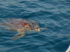 za, 01/10/2011 - 07:18 - 050. Schildpad naast de boot bij het eiland Epi, Vanuatu