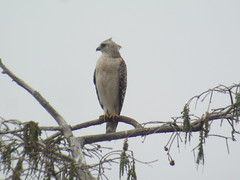 Red-shouldered Hawk, Everglades NP, FL