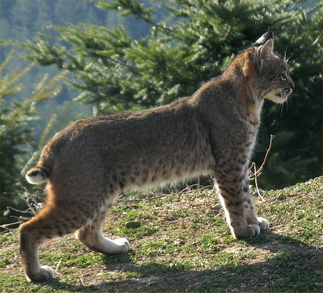 Bobcat (Lynx rufus); Photo by Georgia Stigall 1/18/2012. San Mateo County, Santa Cruz Mountains, California, USA