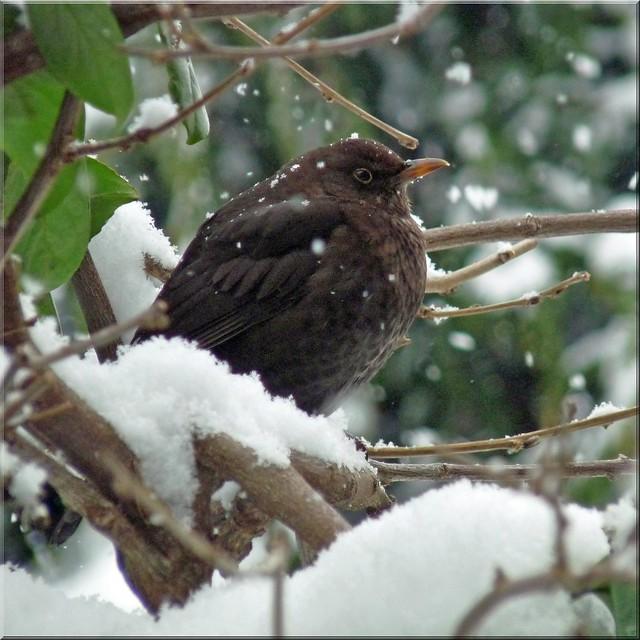 Merel - Blackbird