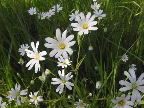 Stitchwort | by PaulG's Photos