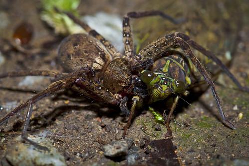 Agro arachnid