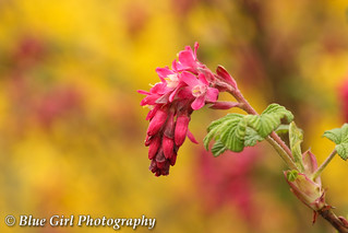 Flowering Currant | by suzypud