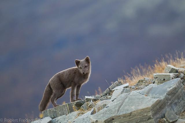 Fjellrev- Arctic fox-09-2.jpg