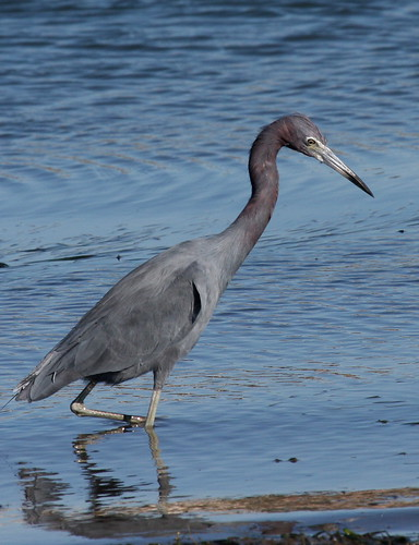 Little Blue Heron -  Egretta caerulea | by Engilis Photos