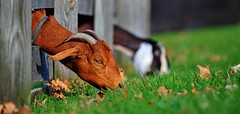 Goats & fence